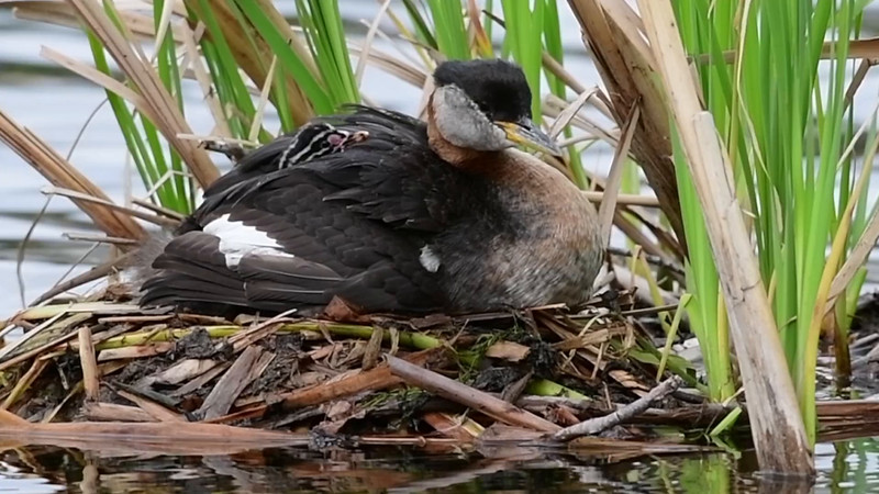 Red-Necked Grebe iMovie  - 3 new young ones