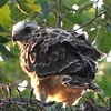 Young Swainson's Hawk