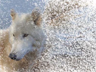 Artic Wolf Dispersion
