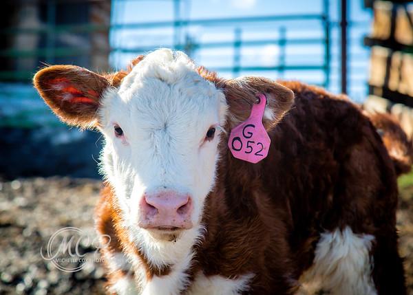 Gilmar | Hereford Cattle
