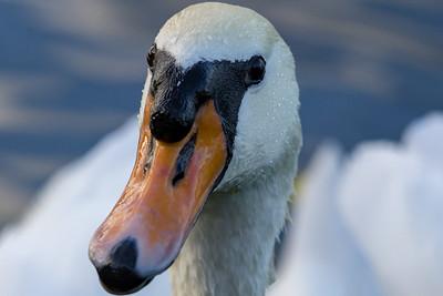 Swan CTH