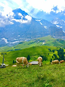 Swiss Alpine Cows