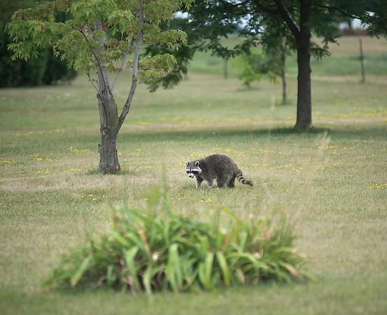 180724 Sick Raccoon 1