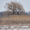 180307 Snowy Owl 1