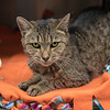 "James Neiss/staff photographer <br /> Sanborn, NY - Janelle is a 8 year old domestic shorthair mix that's looking for his forever home. Because Janelle is the Niagara Gazette Pet of the Week, her adoption fee is half off. <br /> <br /> For more information, contact the SPCA at 731-4368 or  <a href=""http://www.niagaraspca.org"">http://www.niagaraspca.org</a>."