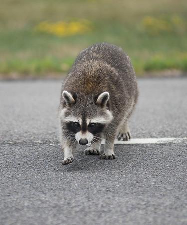 180724 Sick Raccoon 2