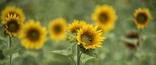 180814 Sunflowers of Sanborn 6