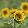 180814 Sunflowers of Sanborn 6