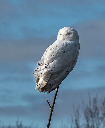 181219 Enterprise Snowy Owl 2