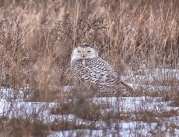 180307 Snowy Owl 2