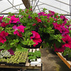"12"" Hanging Baskets"