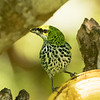 Spectacled Tanager