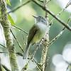 Yellow-olive Flycatcher
