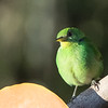 Green Honeycreeper (F)