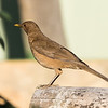 Clay- colored Thrush