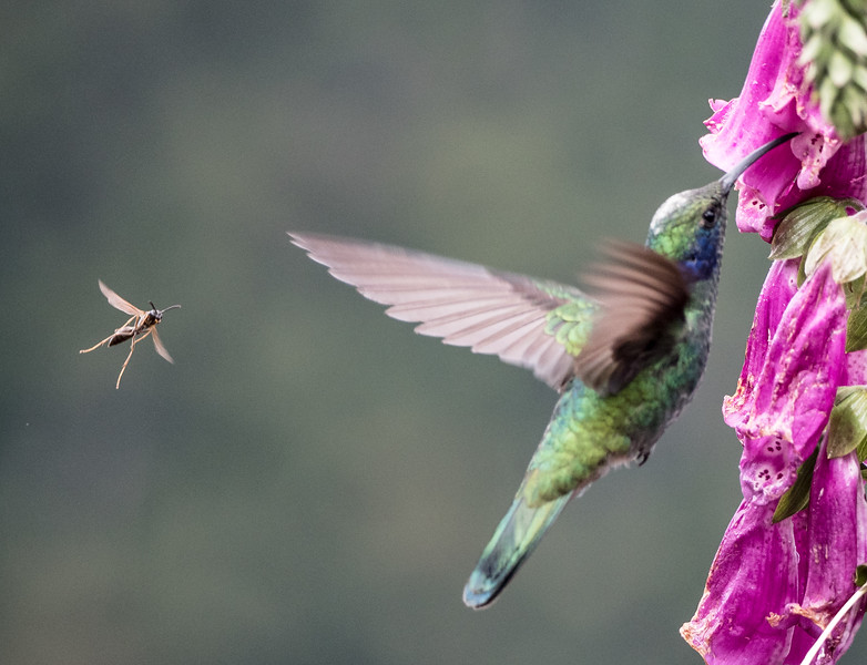 Lesser Violetear and insect