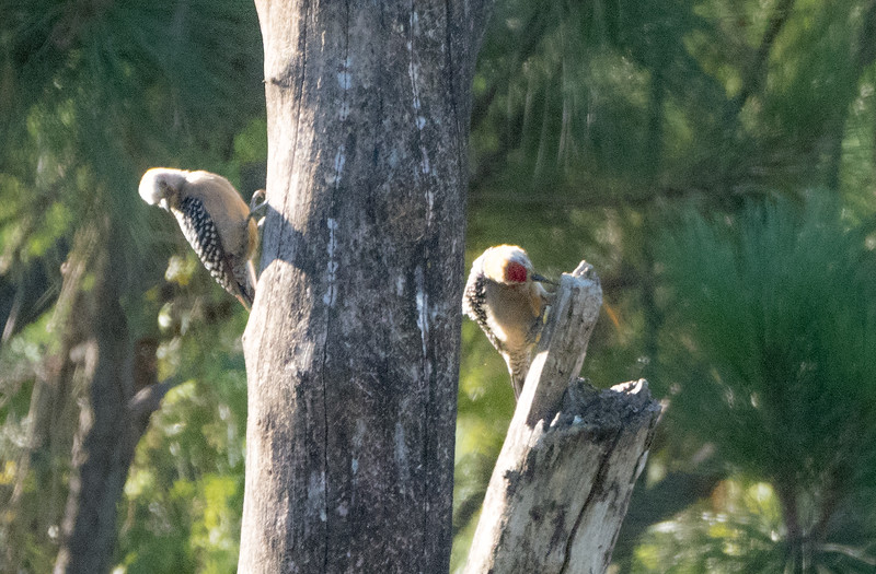 Hoffman's Woodpeckers
