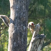 Hoffman's Woodpeckers