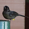 Yellow-thighed Finch