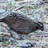 Spotted Wood Quail