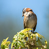 Rufus-collared Sparrow
