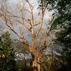 Nativa Tree