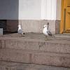 2018 April 12, Helsinki Finland, 'Helsinki Cathedral Pigeons'