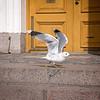 2018 April 12, Helsinki Finland, Pigeons