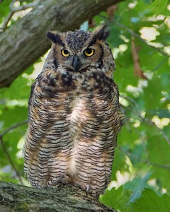 DA054,DN,Great Horned Owl