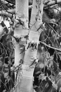 DA040,BW,Birch_Tree_Bark_Pealing-2