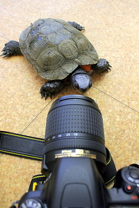 IMG_0004 Turt,,a 40 year old Wood Turtle,,looks at her reflection in a camera lens