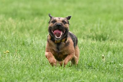Border Terrier #2