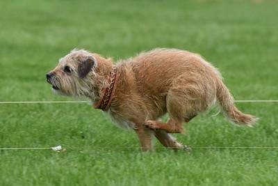 Border Terrier #3