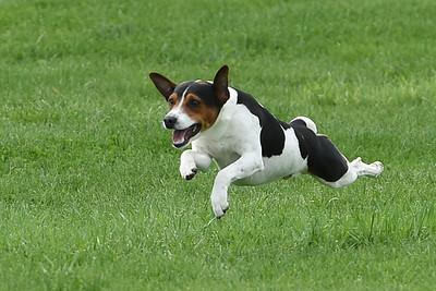 Rat Terrier #2