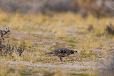 DA040,DN,California_Valley_Quail_Joshua_Tree-8418