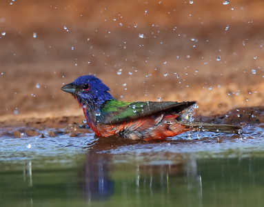 DA061,DP, Painted Bunting, Bath Time