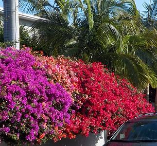 Bougainvillea  3 different colors Key West FL