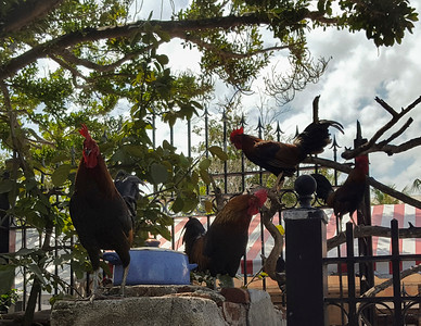 Roosters in Key West Florida