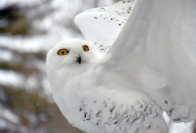 DSC_6310 Snowy Owl,,with marcia wilson,,,see above