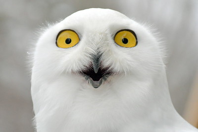USE_DSC_6346 Snowy Owl,,,with marcia wilson,,,of Eyes On Owls,,guest speaker from MA