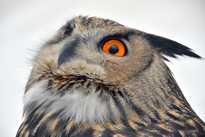 DSC_6417 Eurasian Eagle Owl,,,with jessica snyder of New England Falconry
