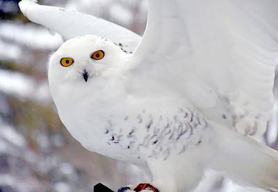 DSC_6312 Snowy Owl, with marcia wilson
