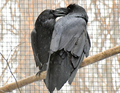 DSC_6442 pair of ravens, holding beaks,,a regular behavior of mated pairs