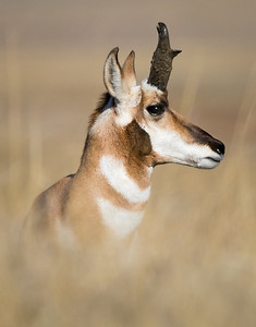 DA022,DN,south_dakota_prong_horn_antelope