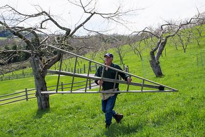 Apple Tree Grafting