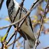 Blackpolll Warbler