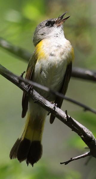 American Redstart -Female