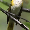 American Redstart -Female
