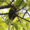 Bad photo of Black-billed Cuckoo