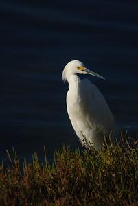DA099,DN,Snowy Egret